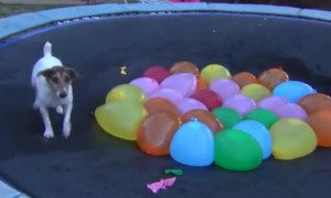 spaz-jack-russell-terrier-dog-with-water-balloons-on-trampoline-